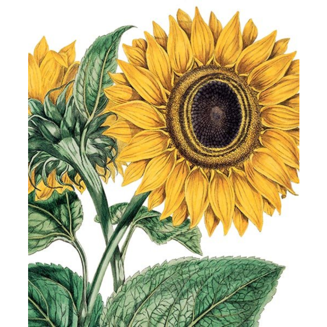 Miller Sunflower - Letterpress Cards - Natural History Museum - from Archivist Gallery